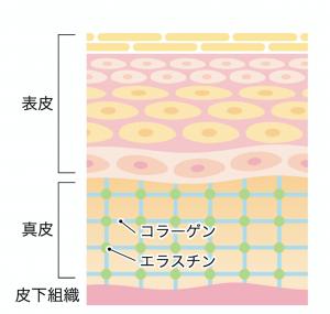 肌の構造と老化