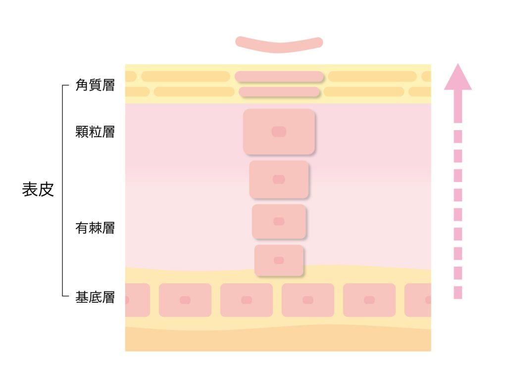 表皮の解剖図